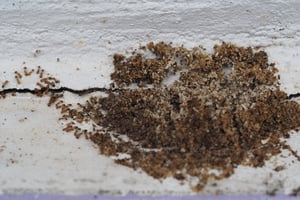 What can I do about a pavement ant infestation?