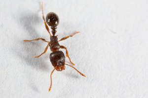 What are pavement ants?