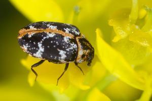 What Are Carpet Beetles Plunkett S Pest Control