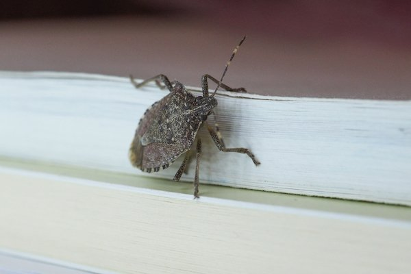 Stink Bugs Questions, Answered - Plunkett's Pest Control