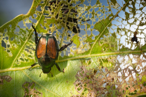 Why are Japanese beetles a problem?