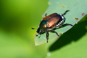 What are Japanese beetles?