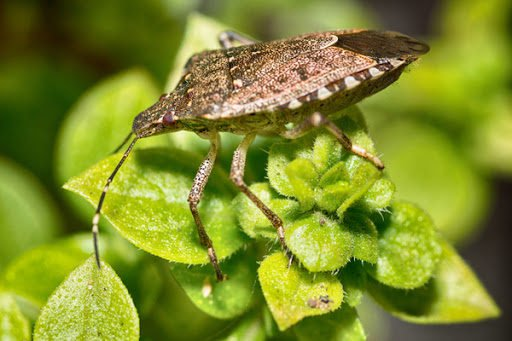 stink bugs smell like rotting vegetables
