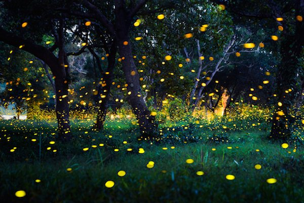 hundreds of fireflies over a swamp during summer firefly season