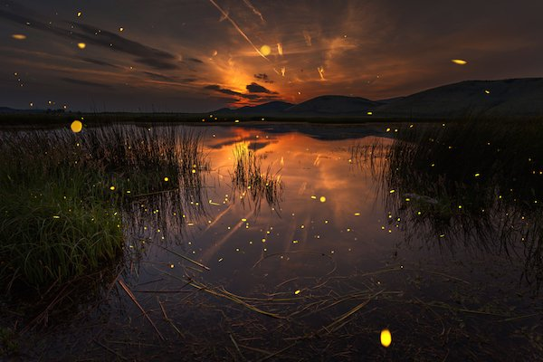 fireflies glowing over a swamp at sunset.