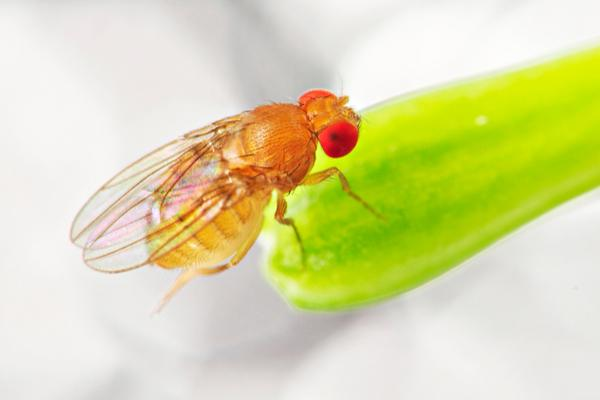 Contrary to their name, fruit flies will infest any rotting material, not just fruit