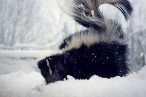 Skunks often burrow under porches and decks to wait out the winter