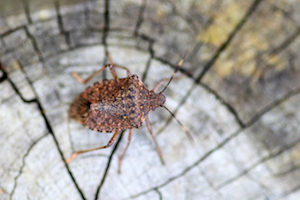 "Stink bugs enter a state of drastically reduced activity called ""diapause"" in winter"