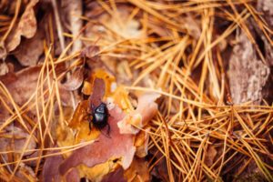 beetles love to hide in fallen leaves