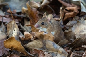 predators may chase rodents into fallen leaves