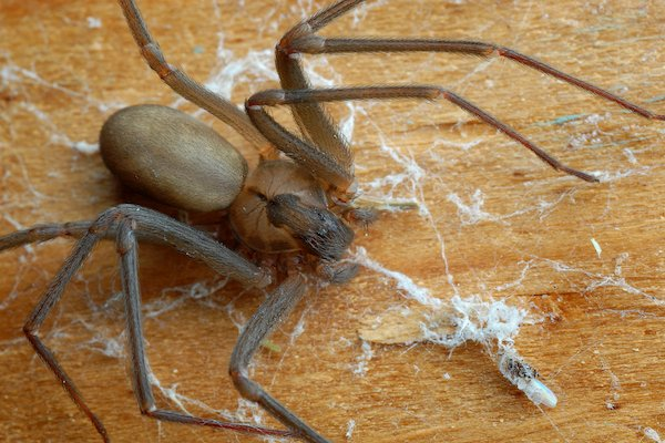 Close up of the venomous Brown Recluse spider