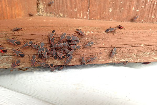it's possible the box elders are sheltering in your home this winter