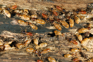 Termites use vibrations to communicate with each other