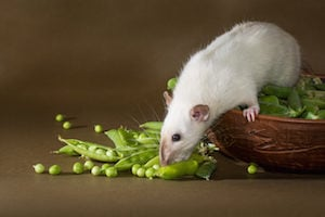 rats enter homes to get food