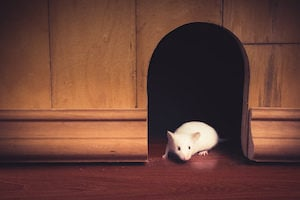 a8231fabae0 What Rats and Mice Really Want - Plunkett's Pest Control