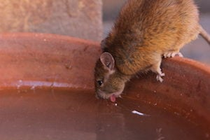 rats enter homes for access to water