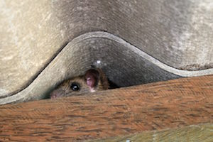 Rats enter homes to find places to hide