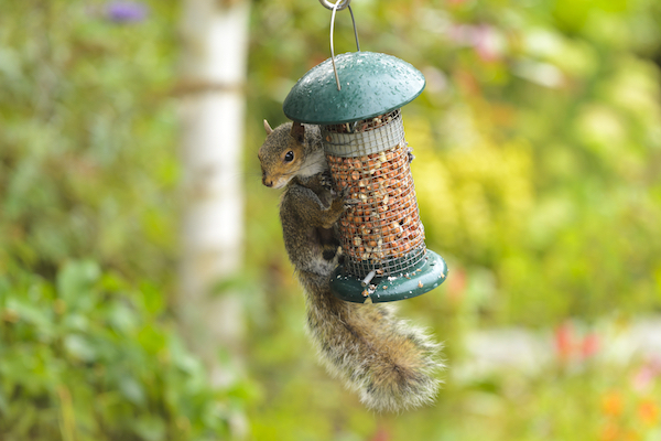 Squirrel eating at a bird feeder