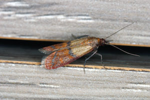 Indian meal moths infest pantries where they can easily access food sources, particularly grains