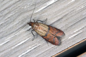 The Indian Meal Moth Is One Of The Most Common Pantry Infesting Pests In  North