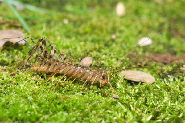 centipede on grass.