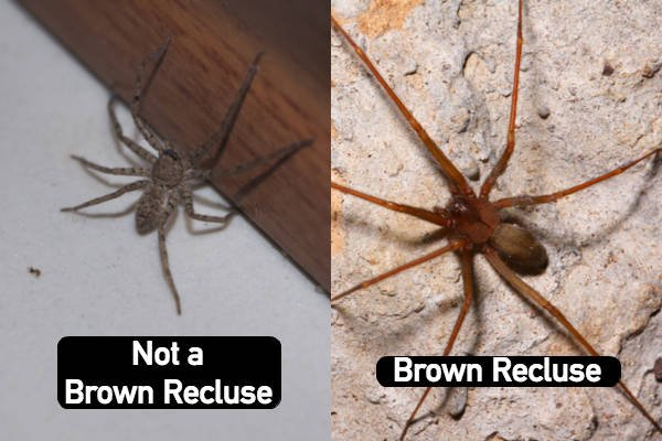 Brown recluse spiders range in coloration