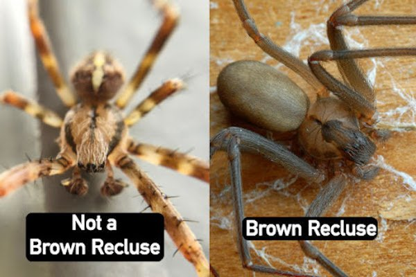 "All Brown recluse spiders have have a single ""violin-shaped"" mark"