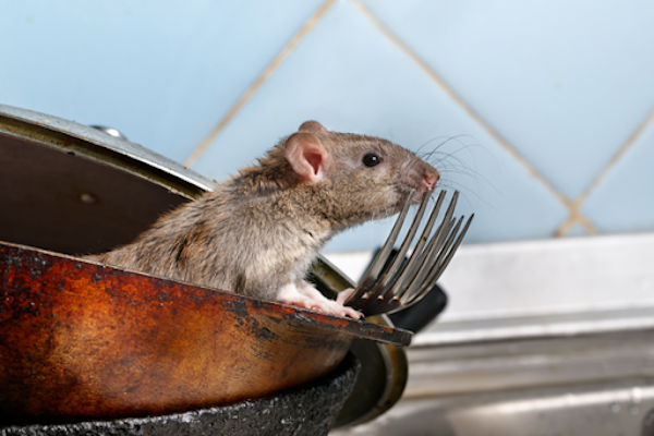 How Do Rodents Hurt My House? | Plunkett's Pest Control ... Will Roaches Ruin Wiring on