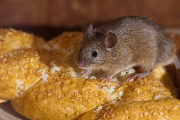 Mouse snacking on some bread