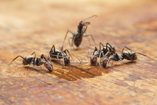 Carpenter Ant Activity