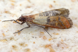 Indian meal moths are active all over the world, except in Antarctica