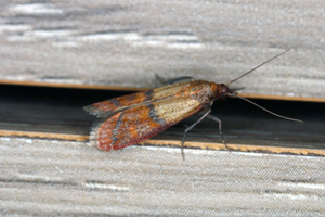Indian meal moths have developed biological resistances to various control measures