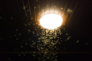 Scientists still debate the exact reason why moths are attracted to light