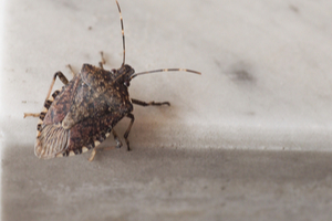 What can you do about stink bugs?