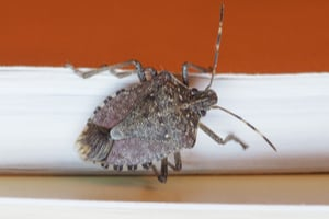 why stink bugs came to the midwest