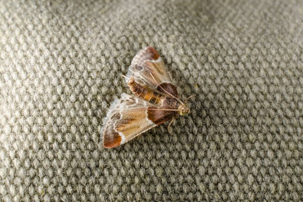 common house moth on clothes or carpet