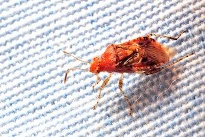 Bed bugs are a particularly bad pest problem during the holiday season