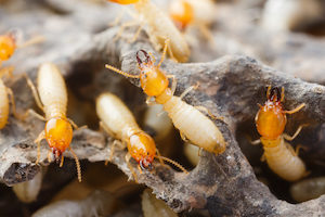 Termites may stay active in homes over the winter