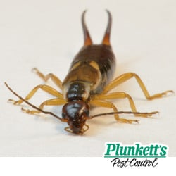 earwigs are harmless pincher bug