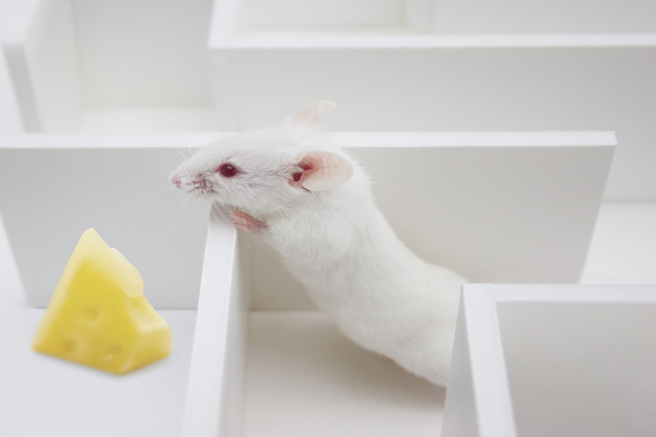 Rat sticking head over maze walls to get at cheese without having to complete maze conventionally.