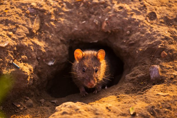 Rat sticking head out of burrowing hole