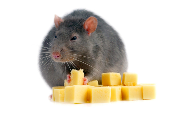 Fat rat eating squares of cheese