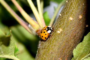 Why the difference between ladybugs and asian lady beetles matters