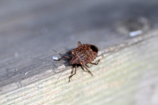 Along with a sunny perch to stay warm, stink bugs need a place to stay over the winter