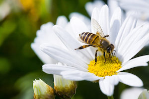 Bees are the most important pollinator in the world
