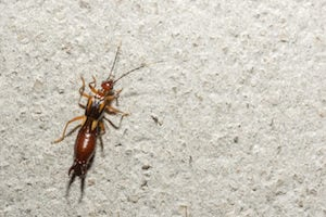 Earwigs help ensure the health of ecosystems by eating burrowing pests