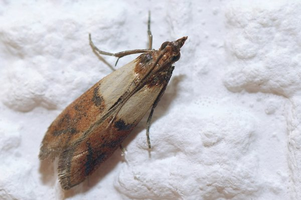 meal moth