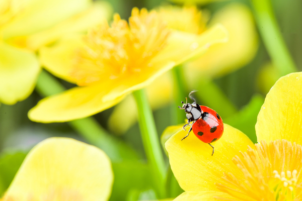 Ladybug perched on bright yellow flower