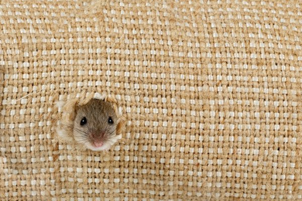 Field Mouse Sneaking Inside