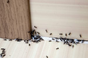 Ants in Your Kitchen This Winter - Plunkett\'s Pest Control